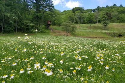 Japan yoga retreat chamomile fields